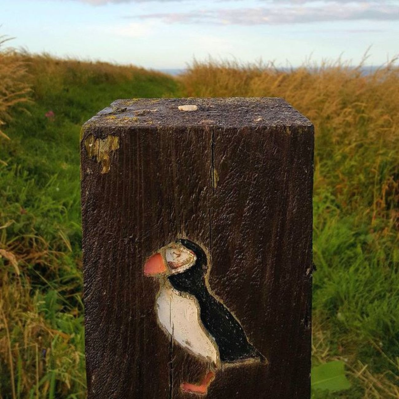 Puffin Trail Puffins Fowlsheugh RSPB Aberdeenshire crawton stonehaven puffinpost coastline bird beautiful scotland visitaberdeen