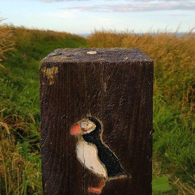 Puffin Trail Puffins Fowlsheugh RSPB Aberdeenshire crawton stonehaven puffinpost coastline bird beautiful scotland visitaberdeen