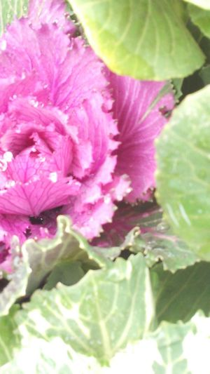 Pinku Flowers (葉牡丹-Habotan)