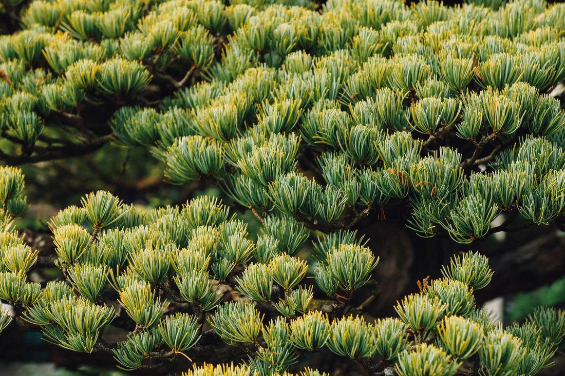 Bonsai Botany Close-up Growing Growth Nature Pine Potted Springtime Tree
