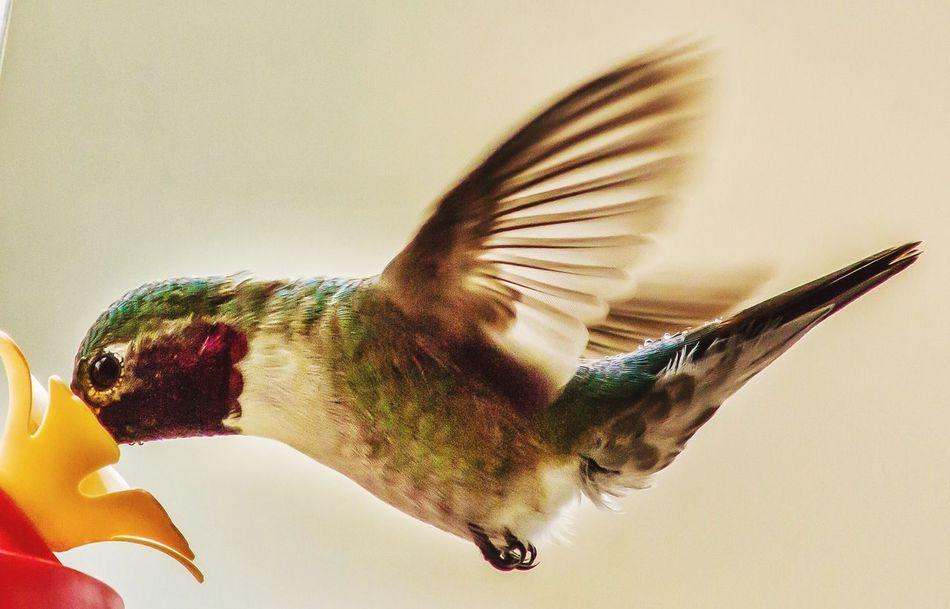 Beautiful stock photos of hummingbird, Animal Themes, Animals In The Wild, Bird, Close-Up
