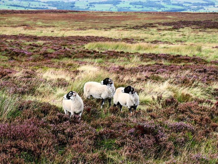 Sheep on Ilkley Moor wandering amongst the September heather Field Grass Domestic Animals Landscape Full Length Meadow Livestock Mammal Green Color Nature Tranquility Outdoors Tranquil Scene Farm Beauty In Nature Non-urban Scene Green Grassy Animal Behavior Sheep