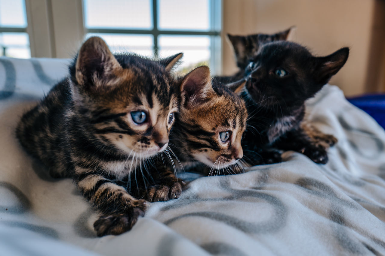Animal Themes Bengal Cat Bengal Cat Lover Bengal Cats Bengal Kitten Black Color Close-up Cute Domestic Animals Domestic Cat Feline Focus On Foreground Home Kitten Lying Down Mammal No People Pets Portrait Relaxation Resting Selective Focus Whisker Young Animal