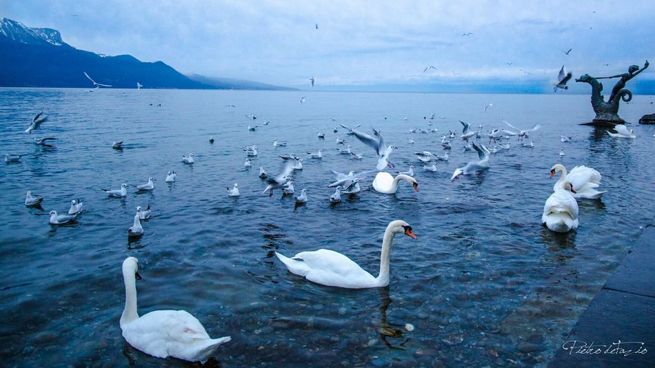 Switzerland Water Leman Lake Switzerland Vevey Riviera Blue MeltingPot Anarchy Animals Nature Feel The Journey