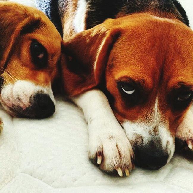 Beagle Beaglefreefromgreenhill Alessiolazzeri