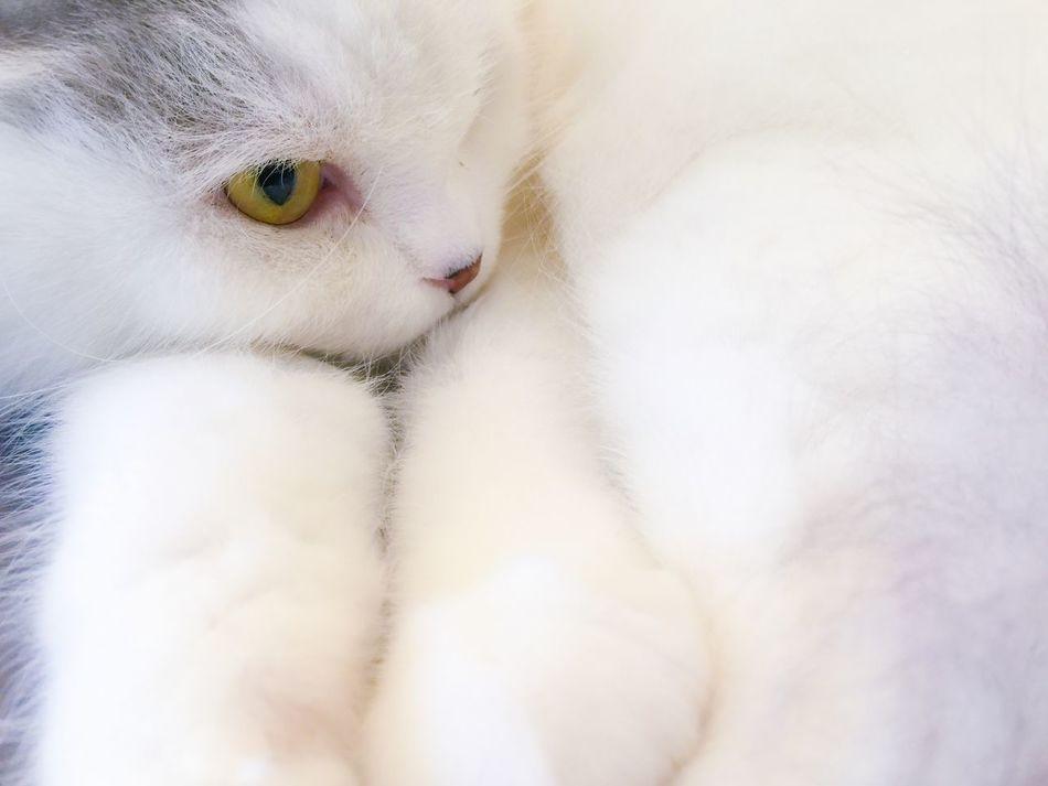 Beautiful stock photos of white, Animal, Animal Body Part, Animal Themes, Cat