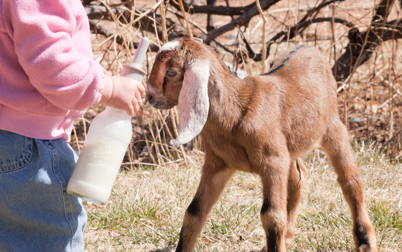Feeding time Young Animal One Person Pets Cute Babies Baby Goats Goat Kid Goat Farm Goat Life Goat Farm Animals Rural Scene Livestock On The Farm Farm Life Baby Animals Cute Animals Animal Themes Domestic Animals Hungry Baby Little Girl Girls People Baby Bottle