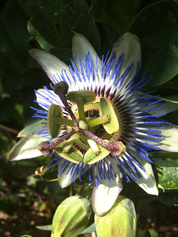 Passion flower in the early morning sun Beauty In Nature Blooming Close-up Flower Flower Head Fragility Growth Nature Outdoors Passion Flower Petal Plant Stamen