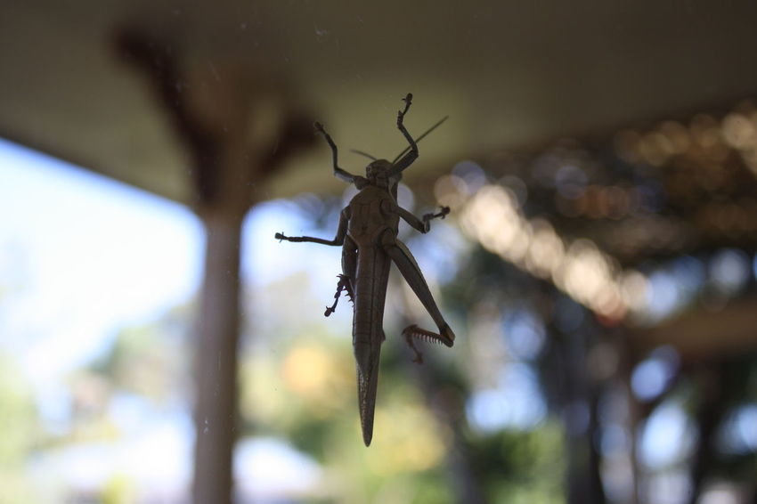 Animal Themes Animal Wildlife Animals In The Wild Beauty In Nature Close-up Day Grasshopper Grasshoppers Insect Nature No People On Window One Animal Underside