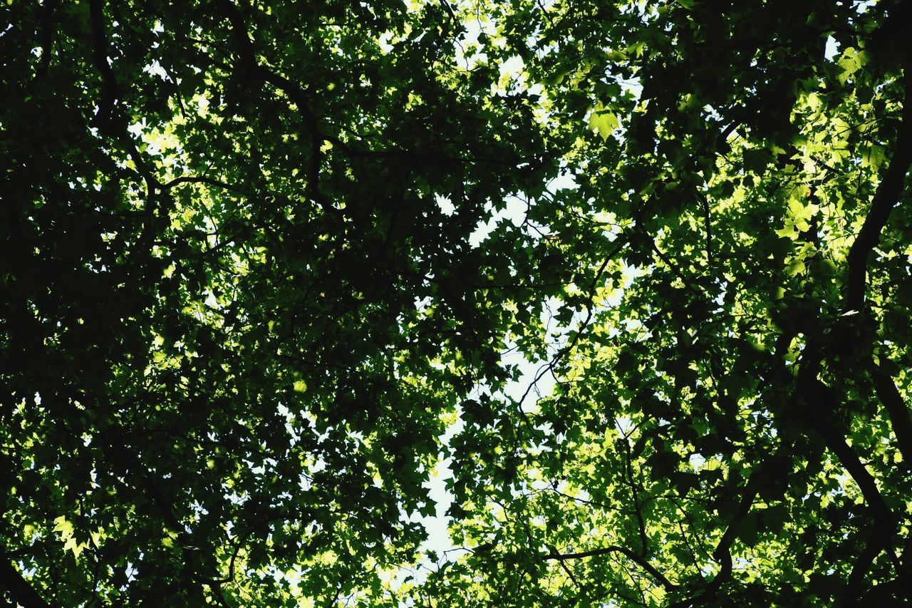 Tree Low Angle View Branch Nature Growth Green Color Outdoors Day Beauty In Nature No People Leaf Backgrounds Freshness Canal De Brienne Toulouse Look Up