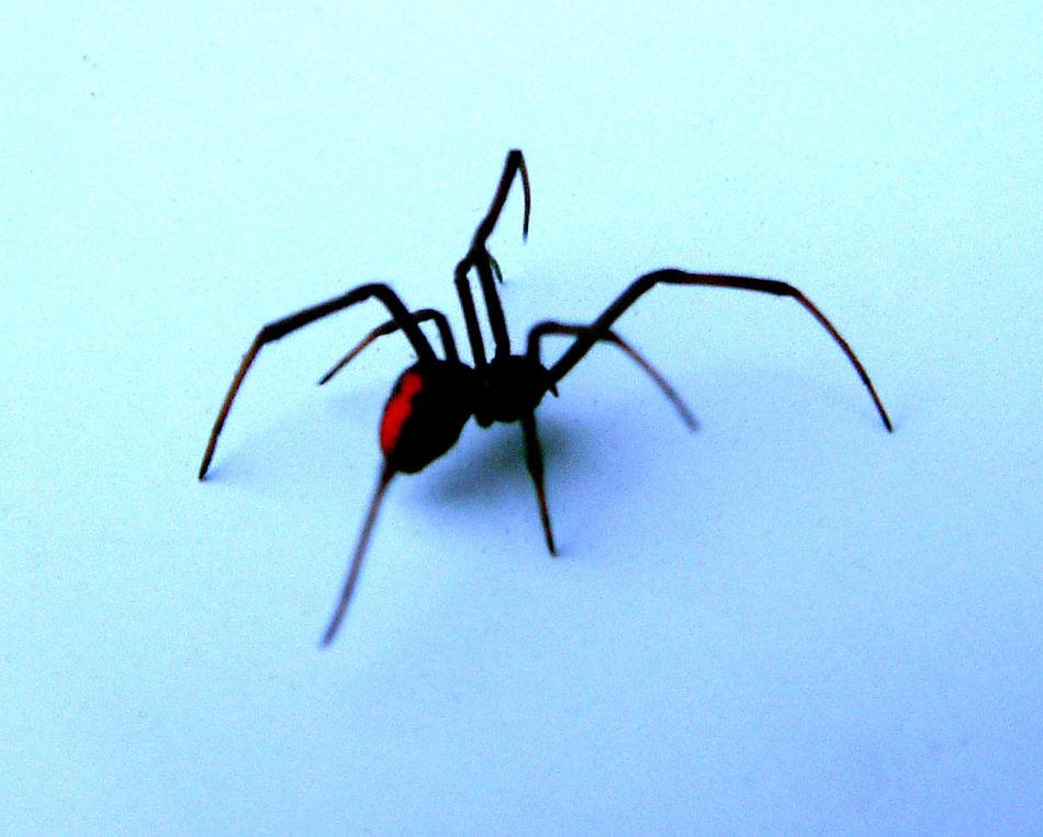 Redback Spider Spider Deadly Spider Ouch Painful Bite 8 Legged Freaks Australia Australian Wildlife