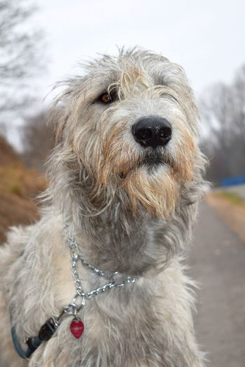 One Animal Animal Themes Dog Focus On Foreground Close-up Outdoors Dogslife Showcase February 2017 How's The Weather Today? Bokeh Winter 2017 February 2017 Eyes Are Soul Reflection Dogs Of EyeEm Domestic Animals Irish Wolfhound Dogs Of Winter Animals In The Wild Looking At Camera Cearnaigh Portrait Animal Head