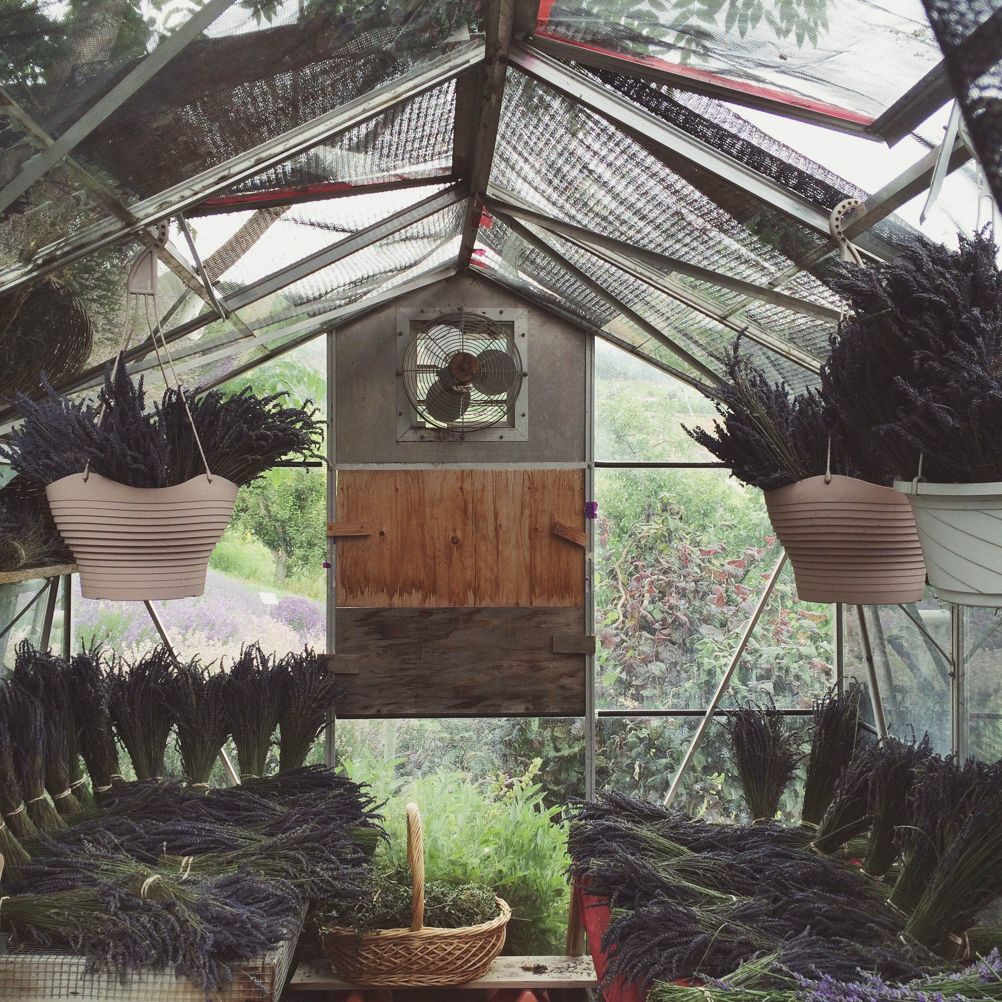 Sweet lavender drying in the greenhouse