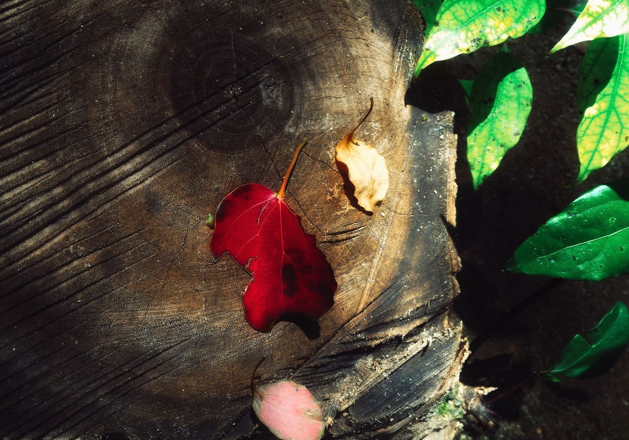 leaf, red, nature, change, autumn, close-up, no people, wood - material, day, beauty in nature, outdoors, tree trunk, fragility, maple leaf, tree, animal themes
