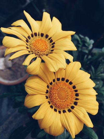 Flower Flower Head Petal Beauty In Nature No People Day Yellow Pollen Outdoors Close-up Freshness Nature Fragility