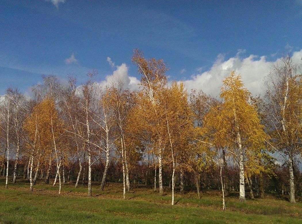 Autumn Autumn Colors Beauty In Nature Nature No People Russian Nature Sky Tree березы золотаяосень