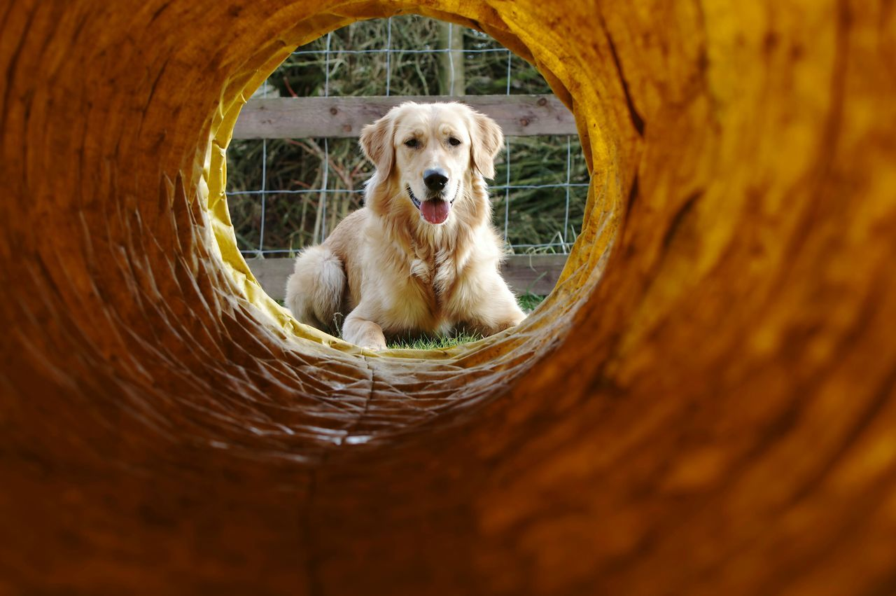 My Dogs Agility Golden Retriever Pentax