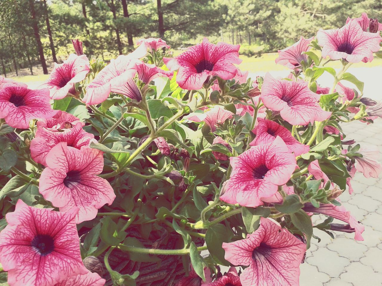 flower, growth, pink color, flower head, fragility, plant, petal, beauty in nature, nature, outdoors, day, blooming, no people, freshness, leaf, springtime, close-up, periwinkle, petunia