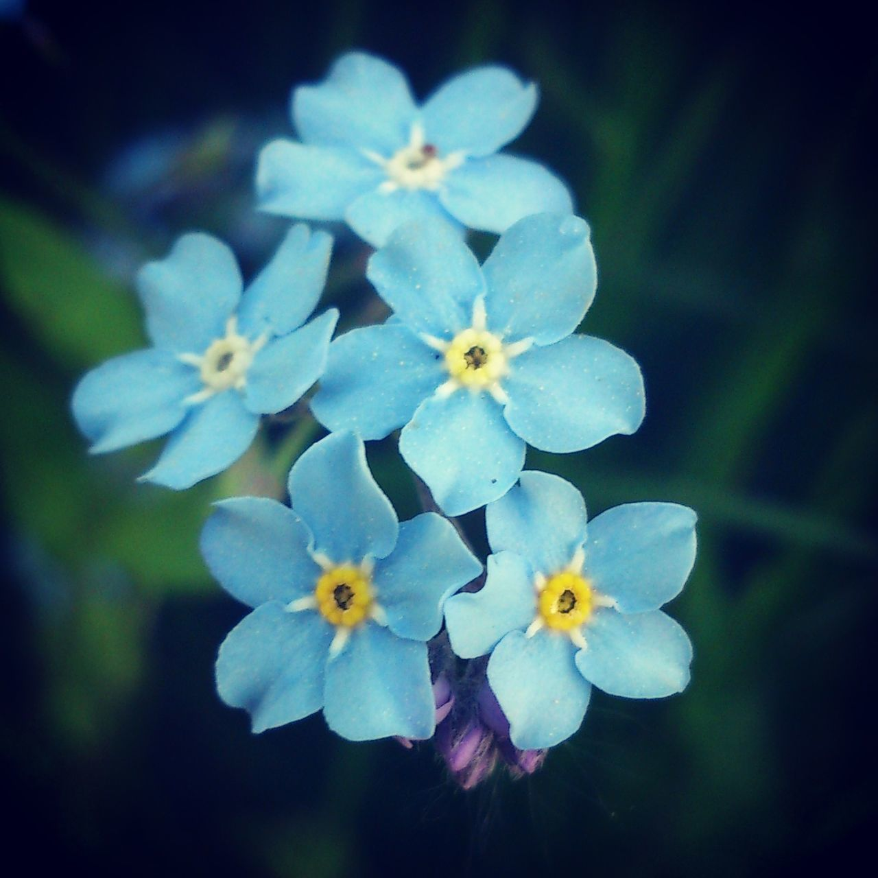 Flower Petal Close-up Beauty In Nature In Bloom Nature Forget Me Not