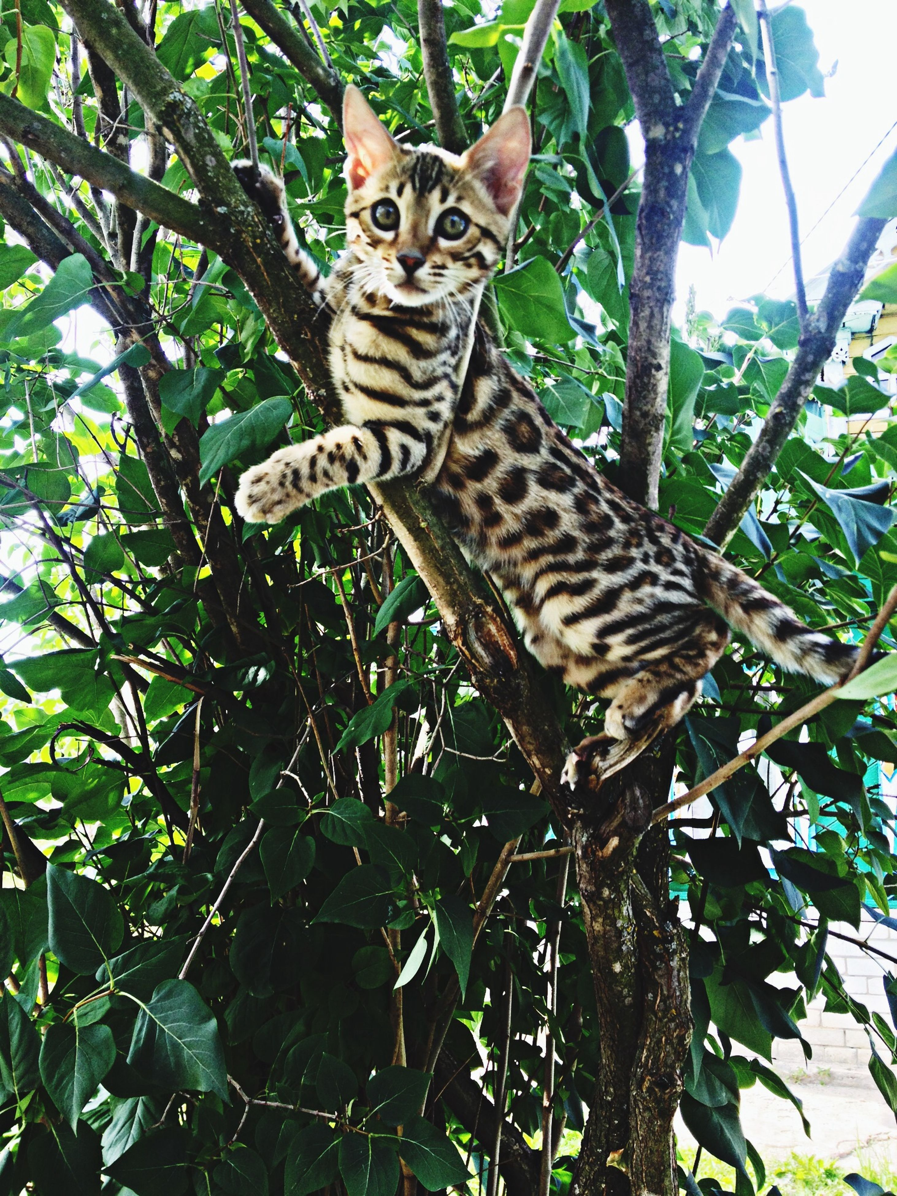 animal themes, one animal, mammal, animal markings, animals in the wild, tree, wildlife, feline, tiger, domestic cat, portrait, looking at camera, low angle view, giraffe, safari animals, sitting, outdoors, nature, plant, no people