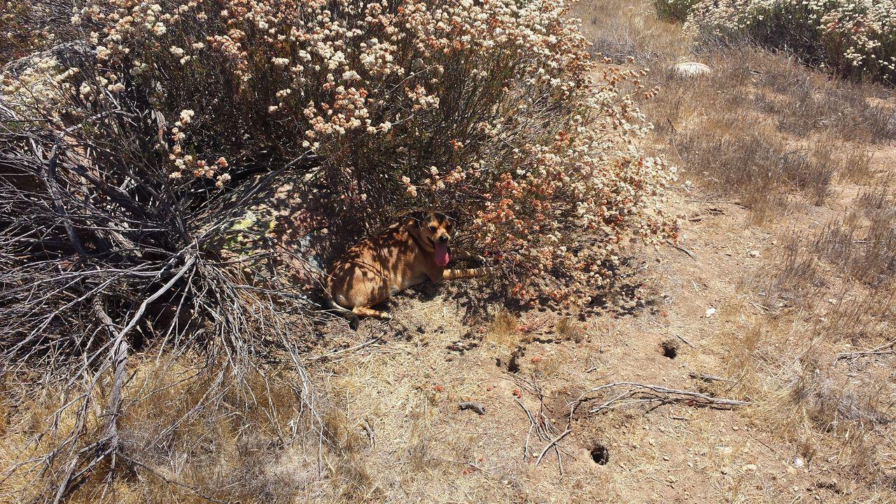 The Oakstrails Photos Oakstrails Photos EyeEmNewHere EyeEm Best Shots Dog In Shade Desert Plant Shade Dog Plant Desert Heat Shade Summer Heat Hot Dog Bush Brush Beauty In Nature Dog Stays Cool
