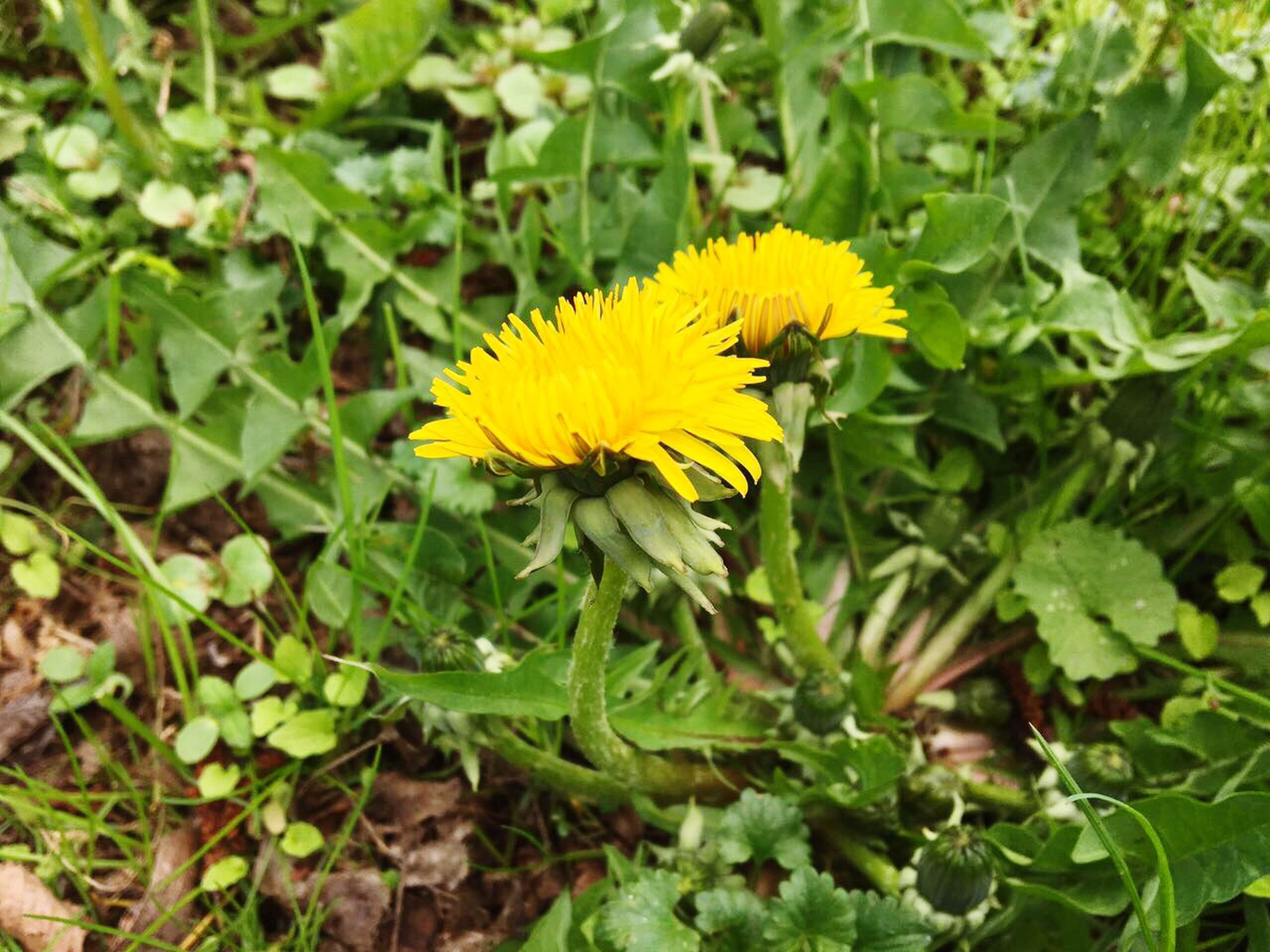yellow, flower, plant, leaf, growth, nature, green color, flower head, beauty in nature, outdoors, fragility, freshness, close-up, no people, day, yellow color