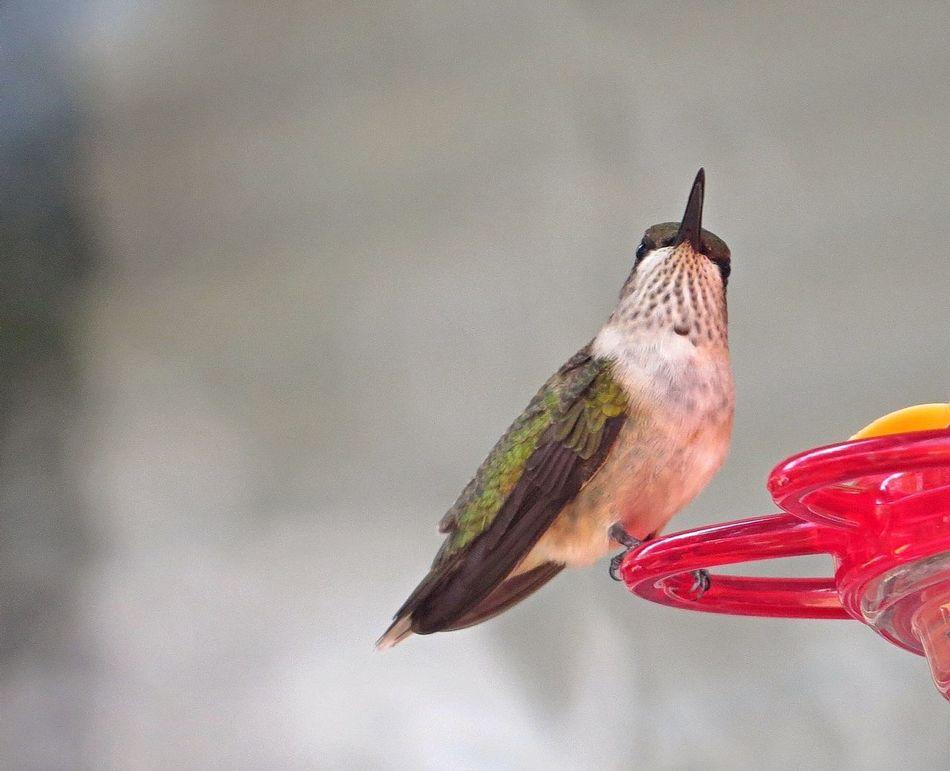 Beautiful stock photos of hummingbird, Animal Markings, Animal Themes, Animals In The Wild, Bird