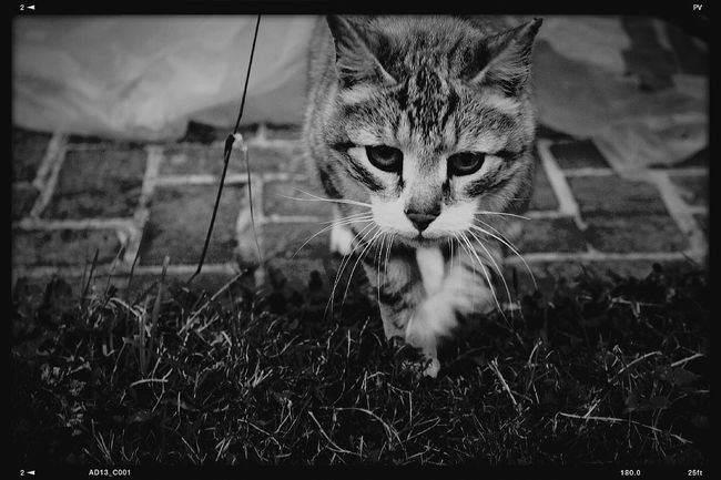 Cat Last Summer Black & White Monochrome Lisieux Normandie