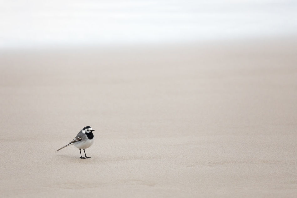 White wagtail standing on a sandy beach Alertness Animal Themes Animal Wildlife Animals In The Wild Beach Beauty In Nature Bird Close-up Copy Space Day Focus On Foreground Full Length Nature No People One Animal Outdoors Perching Sand Sea Selective Focus Side View Simplicity Songbird  Stilt White Wagtail