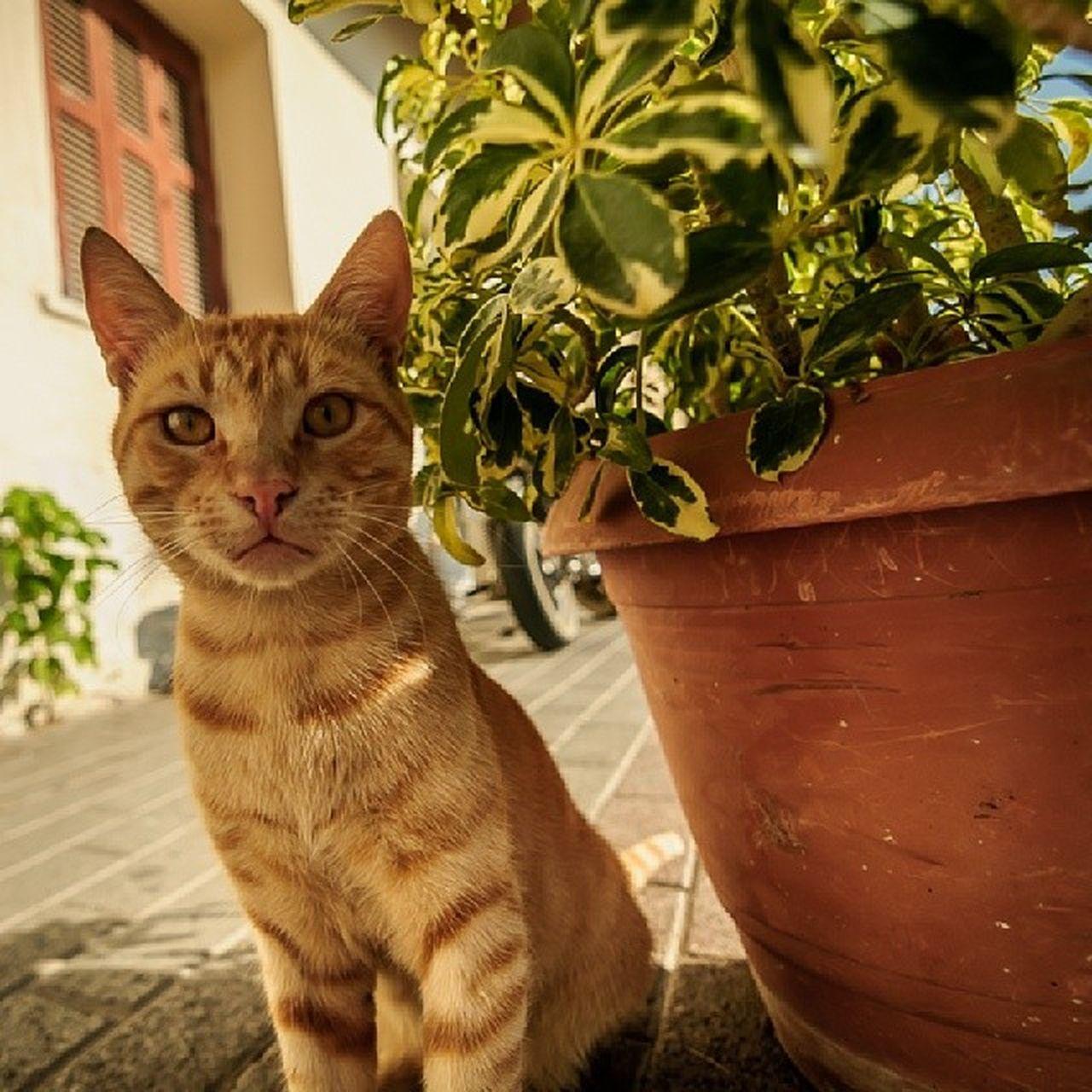 Вот вам рыжий  котейка  инставысер Greece Kos life cat fun