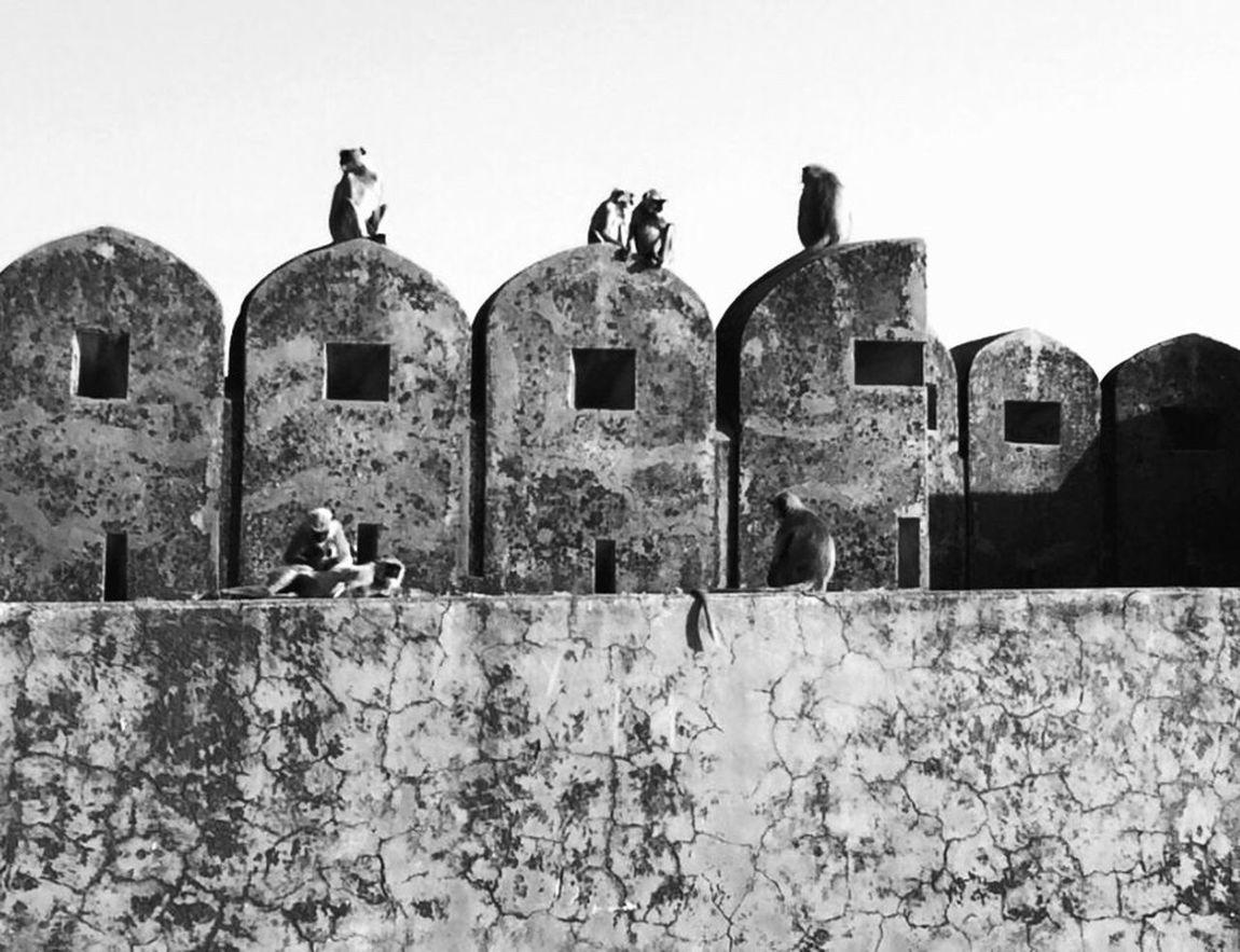 Jaipur Fort India Indian Travel Holiday Explore Monkey Monkeys Blackandwhite Black And White