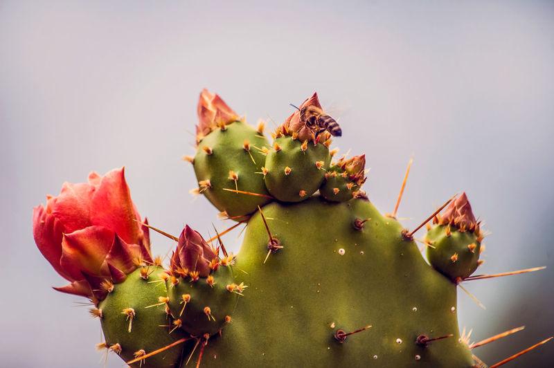 Biene auf Nektarsuche bei Kaktusblüten Hofis Premium Collection Best Shots Hofi Best Pflanzen & Früchte Hofi Stimmungsbild Hofi Blossoms  EyeEm Selects Cactus Thorn Prickly Pear Cactus Nature Plant No People Growth Spiked Outdoors Beauty In Nature Flower Close-up Freshness