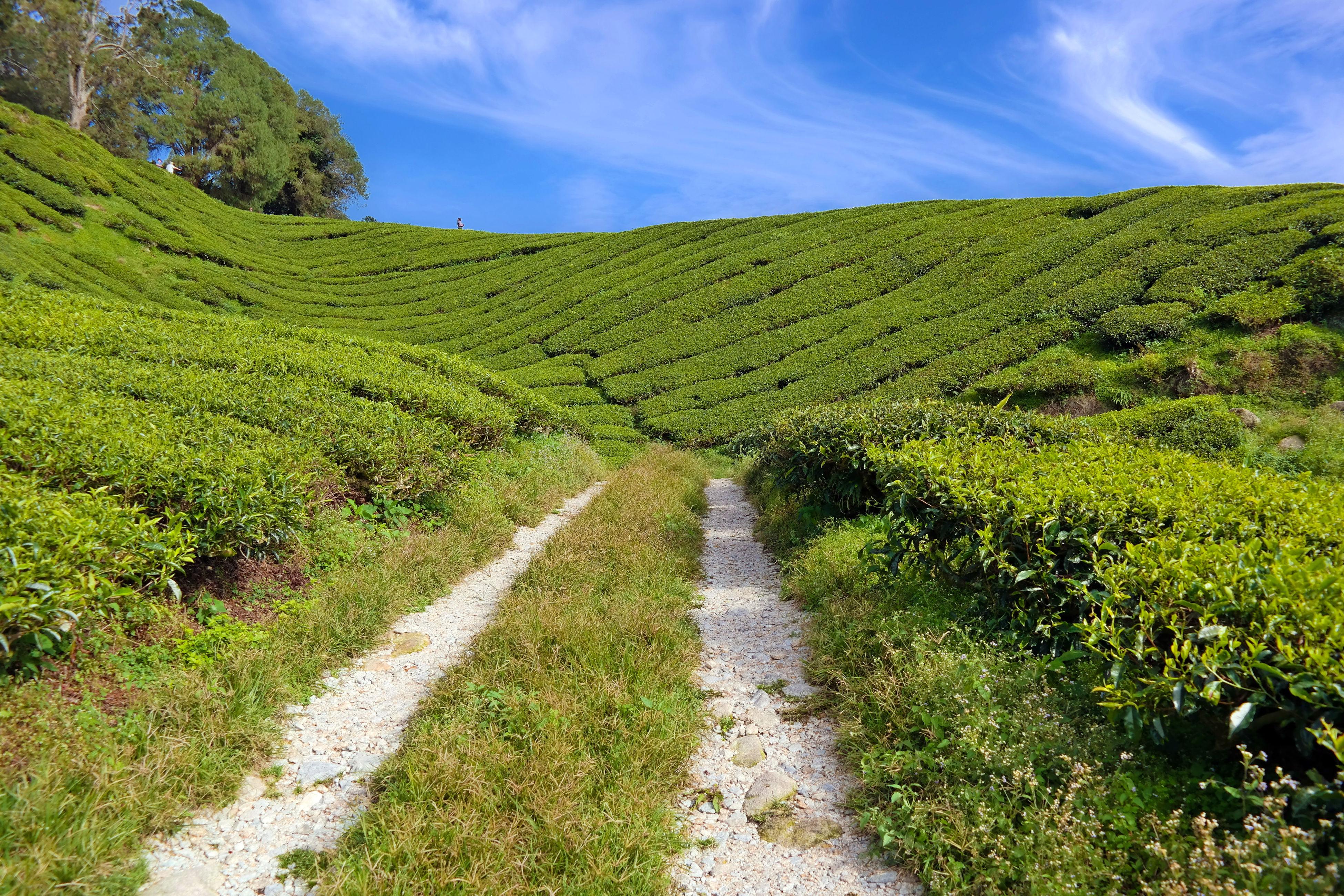 Malaysia Cameron Highlands Teagarden Green Sky Blue