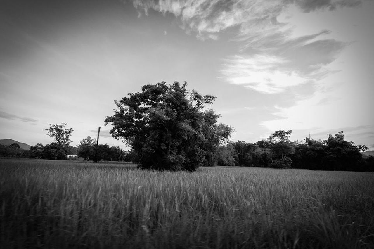 field, tree, agriculture, growth, landscape, nature, rural scene, cereal plant, sky, farm, crop, scenics, tranquility, tranquil scene, no people, wheat, cloud - sky, outdoors, grass, beauty in nature, day, ear of wheat, plant
