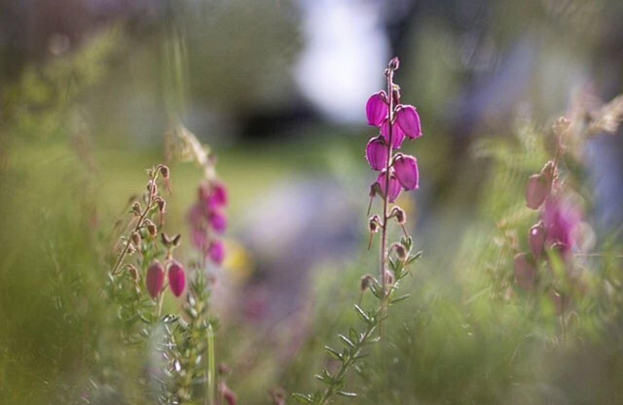 Morning Heather Heather Purple Advertising Product Photography Organic Plants Scottishplant Scotland Magazine Nature_collection