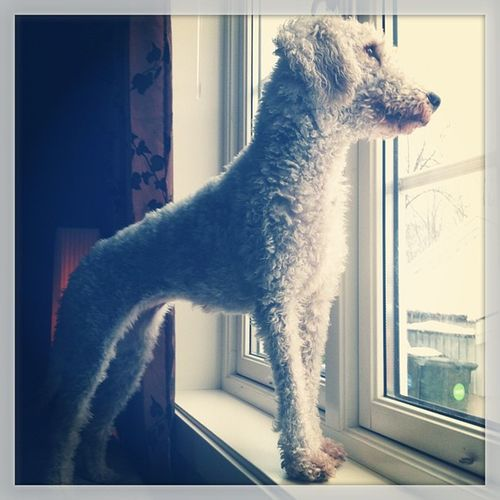 Dog Bedlington Terrier Bitch girl frida girlpower beauty sweet love norway instagram doglove window