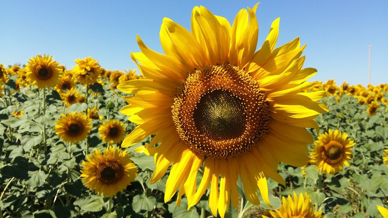 Beautiful stock photos of sunflower, Large Group Of Objects, agriculture, beauty In Nature, bloom