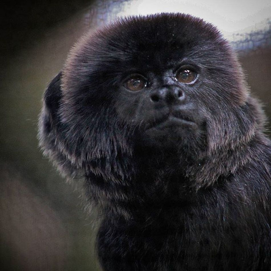 He knew it was time to pose. @staugalligatorfarm GoeldisMonkey Marmoset Monkey Animal Animallovers Primate Mammals Mothernature Naturelovers Alligatorfarm Staugustine IlovesStAugustine Igersstaugustine Igersjax Instagram Instacool Instagood Closeup IGDaily Igaddict Picoftheday Nofilter News4jax Firstcoastnews Voidlive pureflorida roamflorida visitflorida loveFL Canon