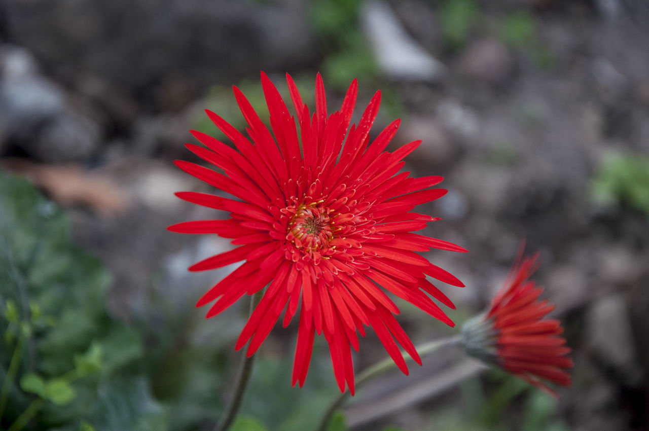 Red Daisy Beauty In Nature Flower Nature Photography Outdoors Petal Philippines Plant Red Red Red Flower