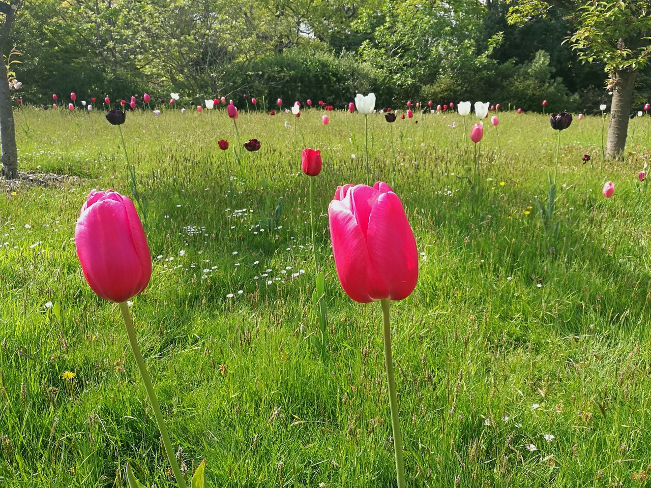 Tulips Pink Tulip Tulip Flowers Flowers Tulip Pink Tulips Tulips In The Wild Field Smartphonephotography HuaweiP9 Springtime Spring Flowers Spring Outdoors Nature Beauty In Nature Grass Pink And Green Flower Head Freshness Flower Garden Kew Gardens, London Bloom Spring Freshness