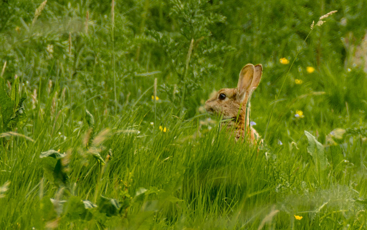 One Animal Animal Wildlife Animals In The Wild Animal Themes Grass Green Color Nature Day Mammal Young Animal No People Outdoors Bird Close-up Bird Of Prey Wild Hare Bunny 🐰 Hopping Sitting Hiding Nature Rural Scene Grass Growth Green Color