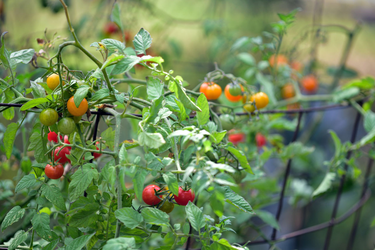 Fall Colors At Merritt Gardens 2 Oakland, Ca. The Gardens At Lake Merritt Lakeside Park Cherry Tomatoes Solanaceae Fruit Fall Bush Garden _ Photography Garden _collection Hybrid Cultivated Botanical Variety Sweet Nature Beauty In Nature Nature_collection Gardening Garden Lovers Horticulture Food Healthy Eating Freshness Late Season