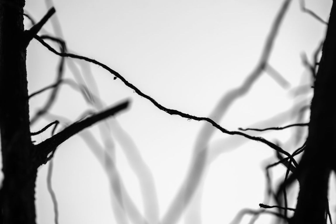 Linking up in Mist. Silhouette of two trees linked up with aerial root in foggy weather condition, In black and white. Abstract Aerial Artistic Bare Tree Black And White Branches Conditions Focus On Foreground Linking Mist Nature Root Silhouette Trees Trunks