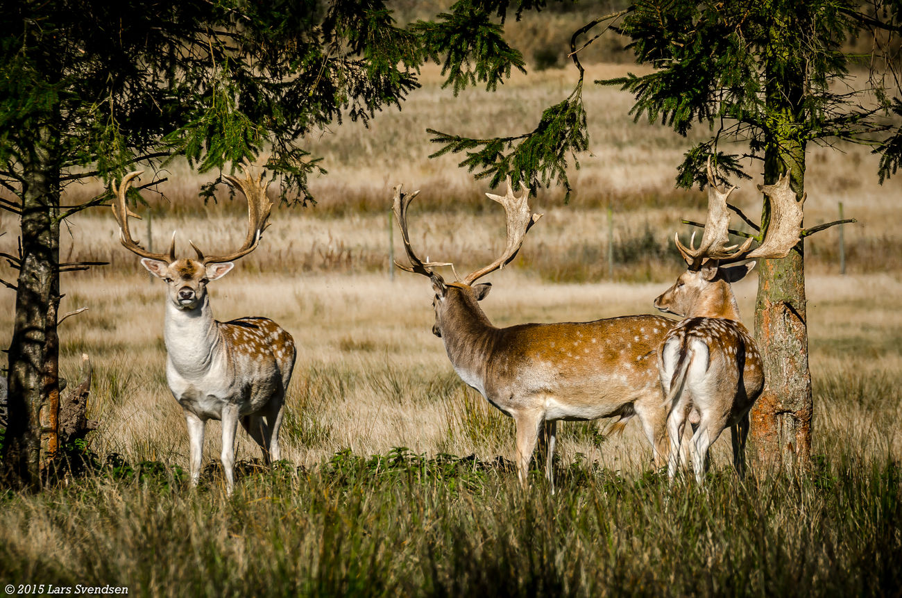 Wonderful pictures of deer out on lunom outside Billesholm in the municipality of Bjuv. Deers Deers Nature Beauty Peace Deerseason Deerstand Https://www.facebook.com/Fotolasse/ Nikon Nikon D7000 Nikonphotographer Nikonphotography ©2016 Lars Svendsen