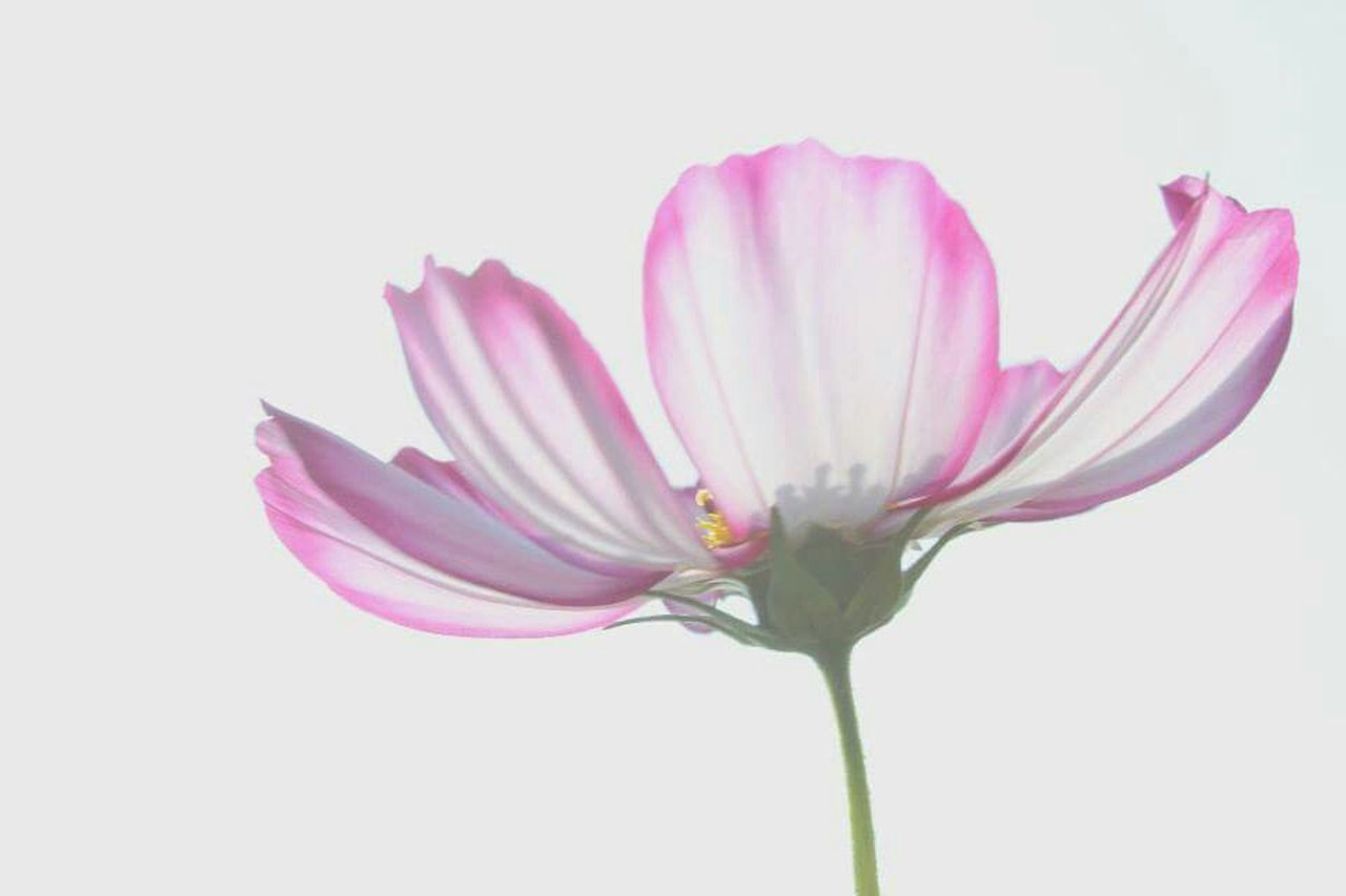 flower, petal, pink color, fragility, flower head, nature, white background, beauty in nature, freshness, studio shot, no people, purple, close-up, springtime, beauty, plant, day