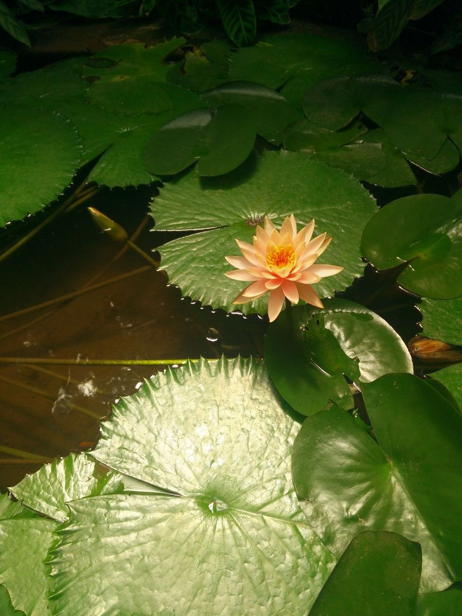 Water Lily Nature Plant Lotus Water Lily Beauty In Nature Freshness Growth Green Color Tranquility Indoor Gardening Indoor Plants Tranquil Scene Growth Indoor Garden Pool Indoor Flowers Blossom Flower No People Pink Water Lily Nenuphar Flowers