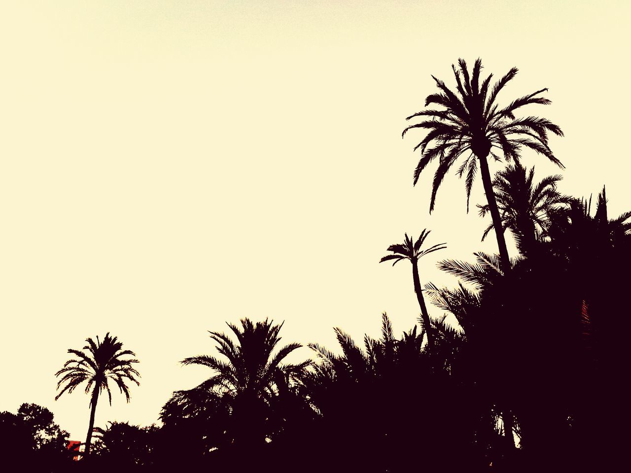 palm tree, tree, silhouette, sunset, clear sky, no people, low angle view, outdoors, beauty in nature, nature, scenics, sky, day
