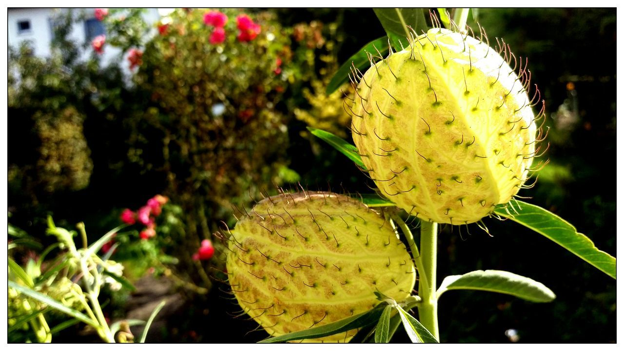 EyeEm Best Shots - Nature Nature_collection Streamzoofamily For You ;-) die Früchte der baumwollenen Seidenpflanze sind tennisballgross