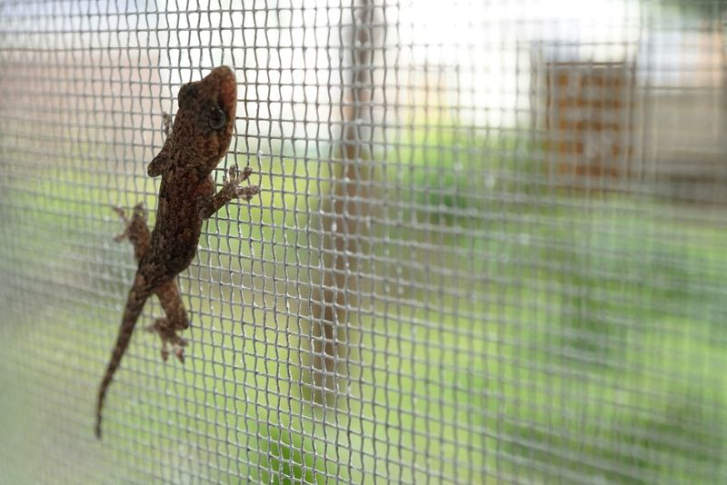 EyeEm Nature Lovers Beautiful Nature Summer Lizard Change Color Nature Nature's Diversities Animal Themes Window Net