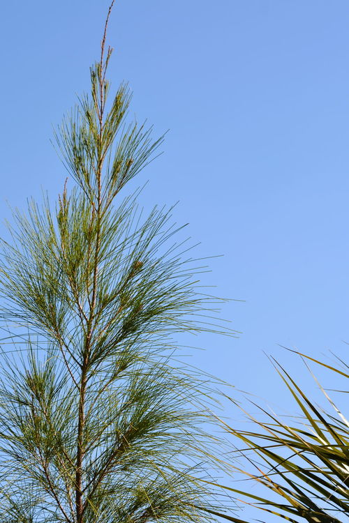 Australian Pine in Florida Nature Tree Sky Blue Beauty In Nature Clear Sky Growth No People Outdoors Against Blue Sky Pine Trees Low Angle View Backgrounds Australian Pine Tree